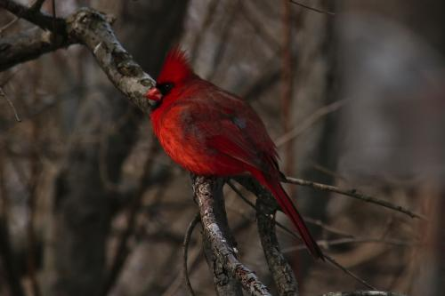 cardinal on tree branch