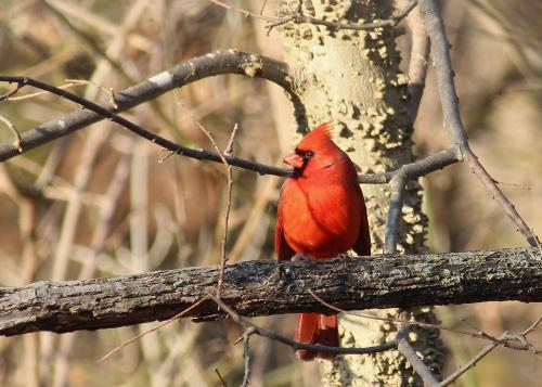 A cardinal on a chilly December morning.