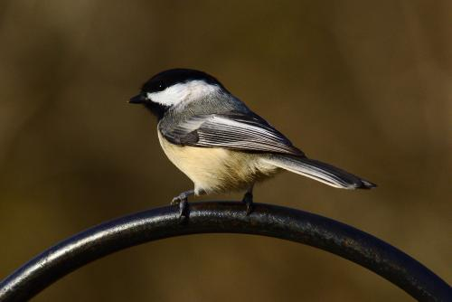 Blacked capped chickadee
