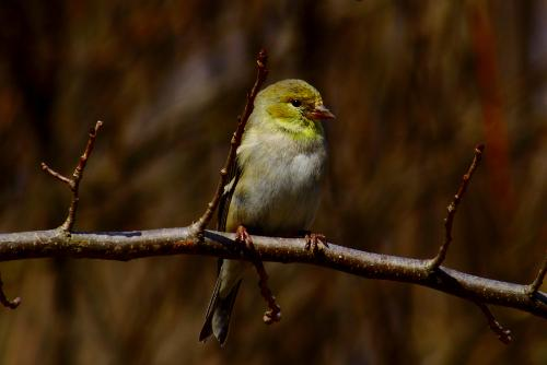 goldfinch on branch
