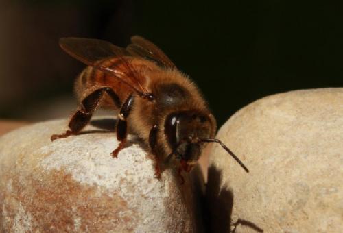 honeybeeheader