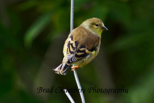 goldfinch on a wire, bird on a wire