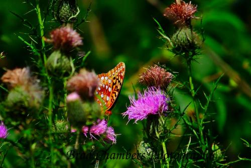 orange butterfly on thistle blossom