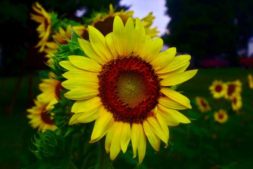 sunflowerprintweb